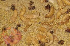 hình 2 Bọ giống sâu superworm sâu thái sâu rồng