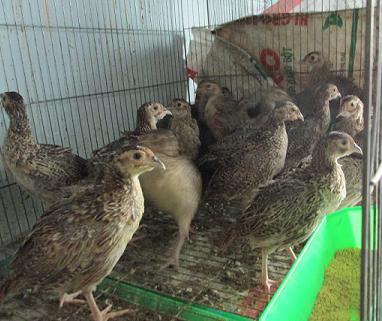 hình ảnh sản phẩm Chim Trĩ Con 1,5 Tháng Tuổi