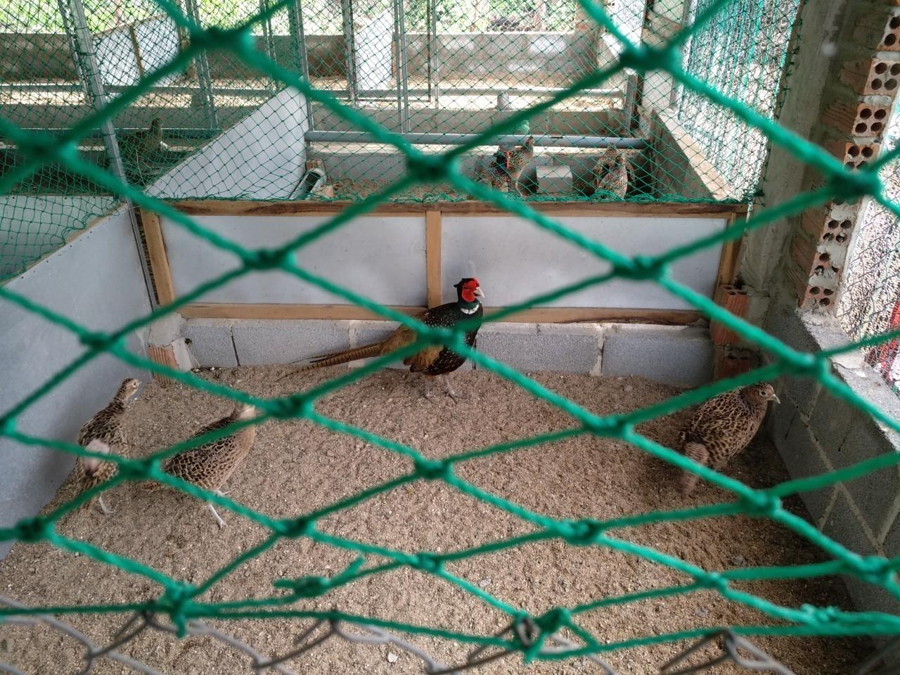 hình ảnh sản phẩm Chim Trĩ Đuôi Dài Nuôi Phong Thuỷ