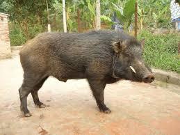 hình 1 lợn rừng lai heo rừng lai