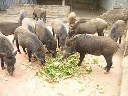 hình ảnh sản phẩm lợn rừng lai heo rừng lai