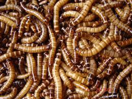 hình 1 sâu superworm thương phẩm sâu thái