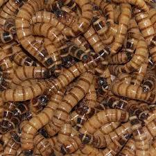 hình ảnh sản phẩm sâu superworm thương phẩm sâu thái